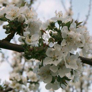 organic cherry blossoms