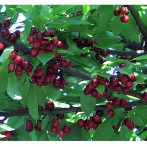 organic cherries on the tree