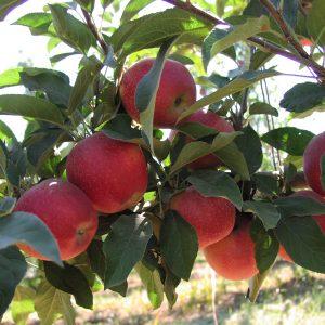 organic apples on the tree