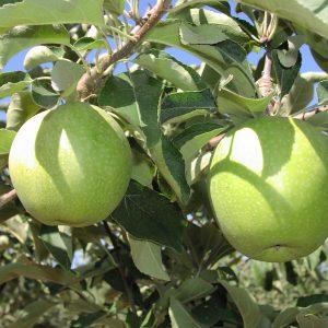 Organic granny smith apples on the tree